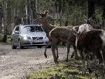 Оленям в Финляндии покроют рога светоотражающей краской для безопасности